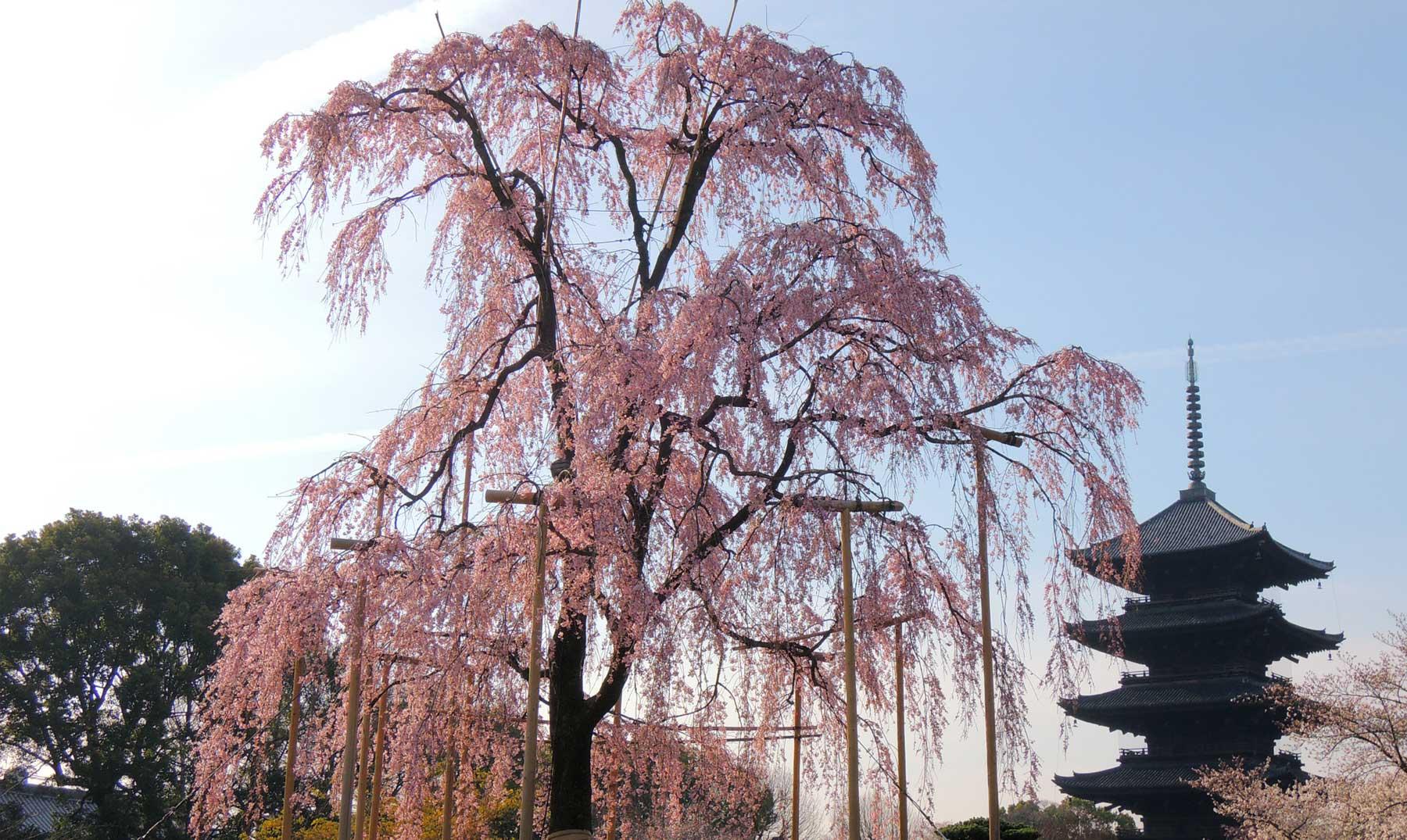 Sakura, la flor del cerezo y su simbología