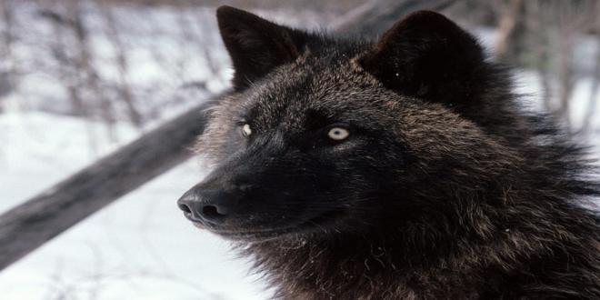 El misterio de los lobos negros 15591578402_5dbd54ca1e_o_660x330