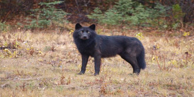 El misterio de los lobos negros 5069335754_39fdc9962a_o_660x330