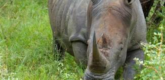 Un gigante al borde de la extinción: el rinoceronte blanco del norte