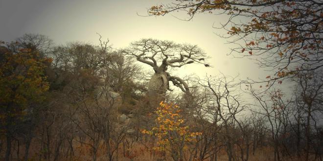 baobab-tree-277427_1280_660x330