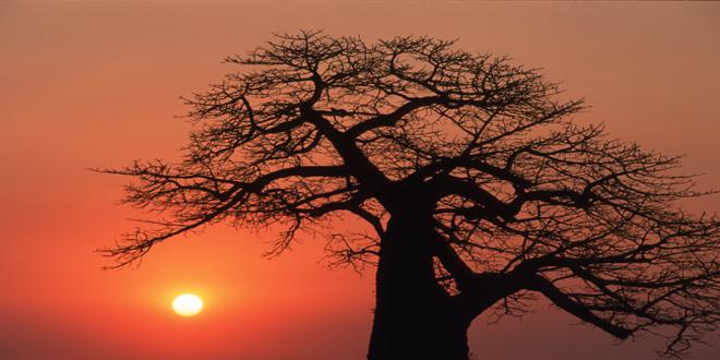 sa-baobab-close_660x330