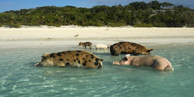 La isla de los cerdos nadadores, Big Mayor Cay