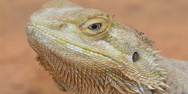 ¡Conoce a este lagarto que cambia de sexo con la temperatura!