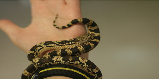 El hombre serpiente, mordido 173 veces llego a los 100 años