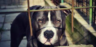 ¿Qué sabes de las peleas de perros? Descubre este horrible espectáculo