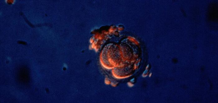 Crean el primer embrión híbrido de humano y cerdo