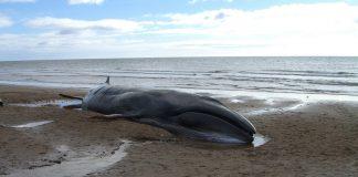 El misterioso encallamiento de cientos de ballenas en Nueva Zelanda