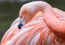 El color de los flamencos, por qué son rosados