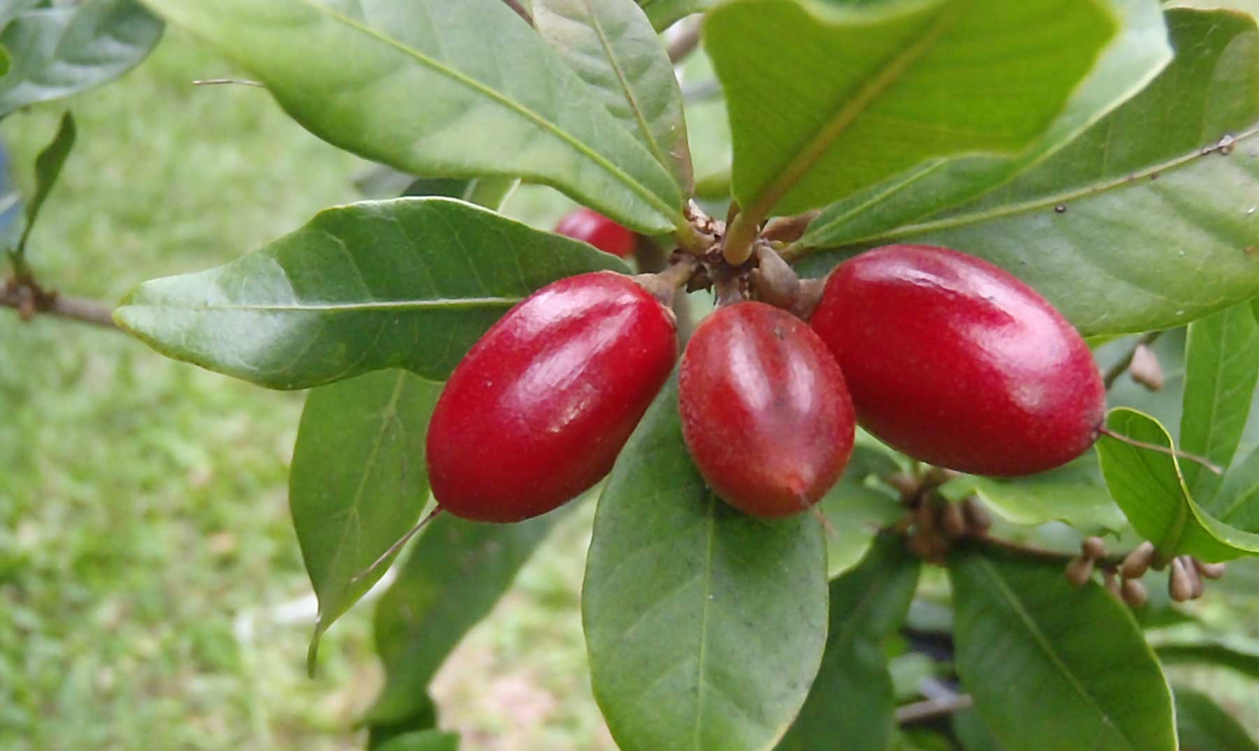 La fruta mágica que vuelve dulce lo ácido y amargo