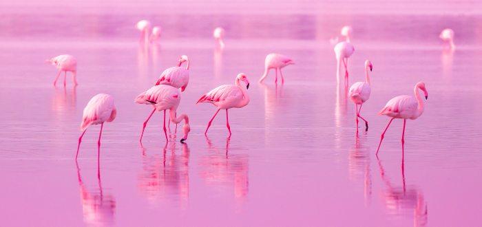 Por qué el color de los flamencos es rosa