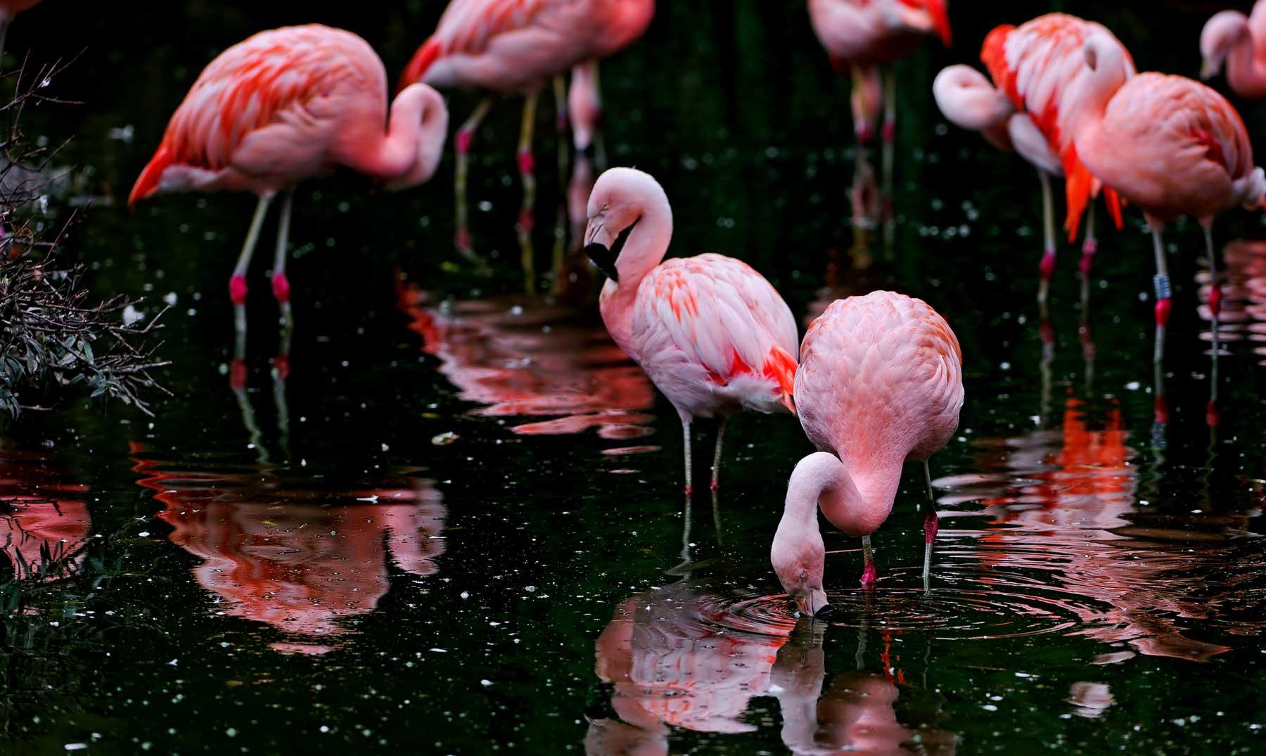 ¿A qué se debe el color de los flamencos?