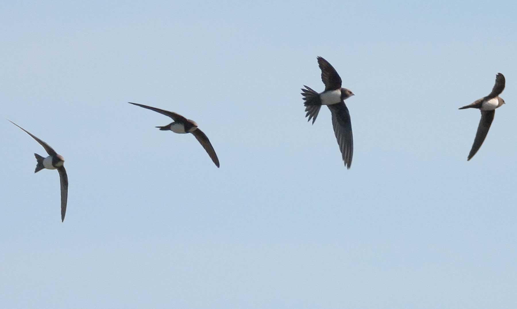 ¿Puede un pájaro volar 6 meses seguidos?