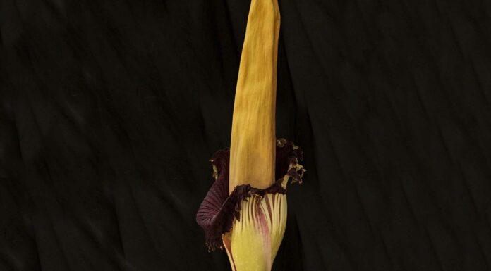 flor apestosa