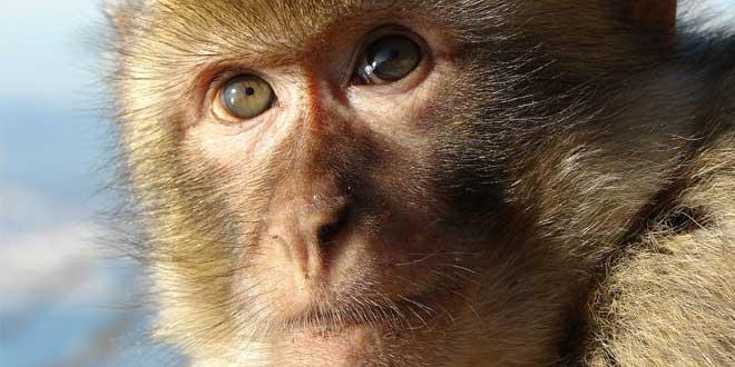 mono gibraltar, monos en gibraltar, monos de gibraltar