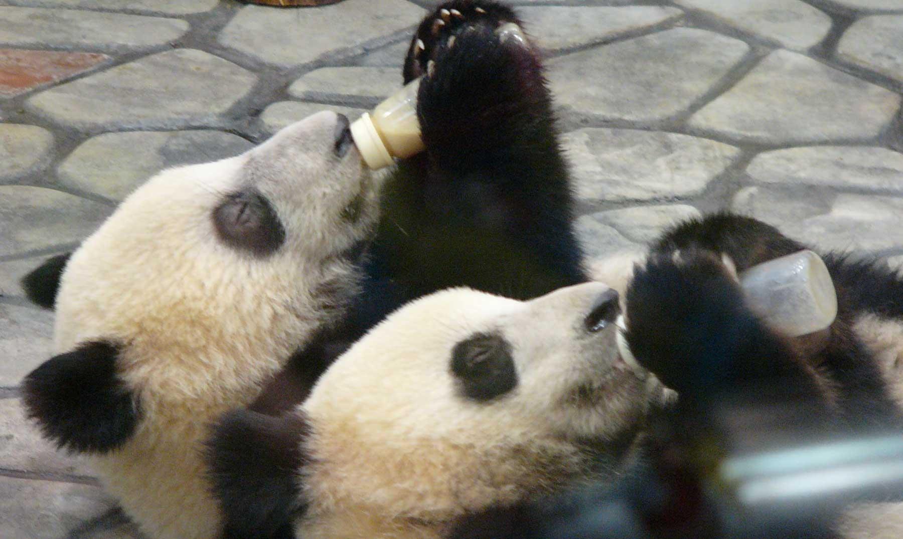 Los primeros 100 días de dos gemelos panda