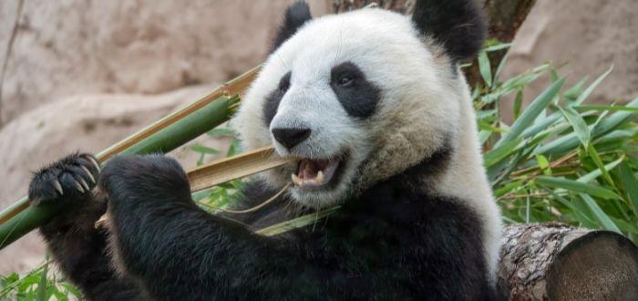Cuidador de osos panda