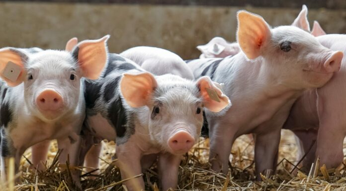 Por qué los musulmanes no comen cerdo, descúbrelo