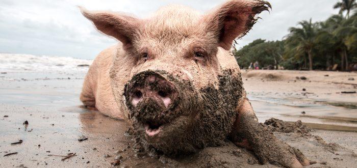 Teorías sobre la higiene de este animal