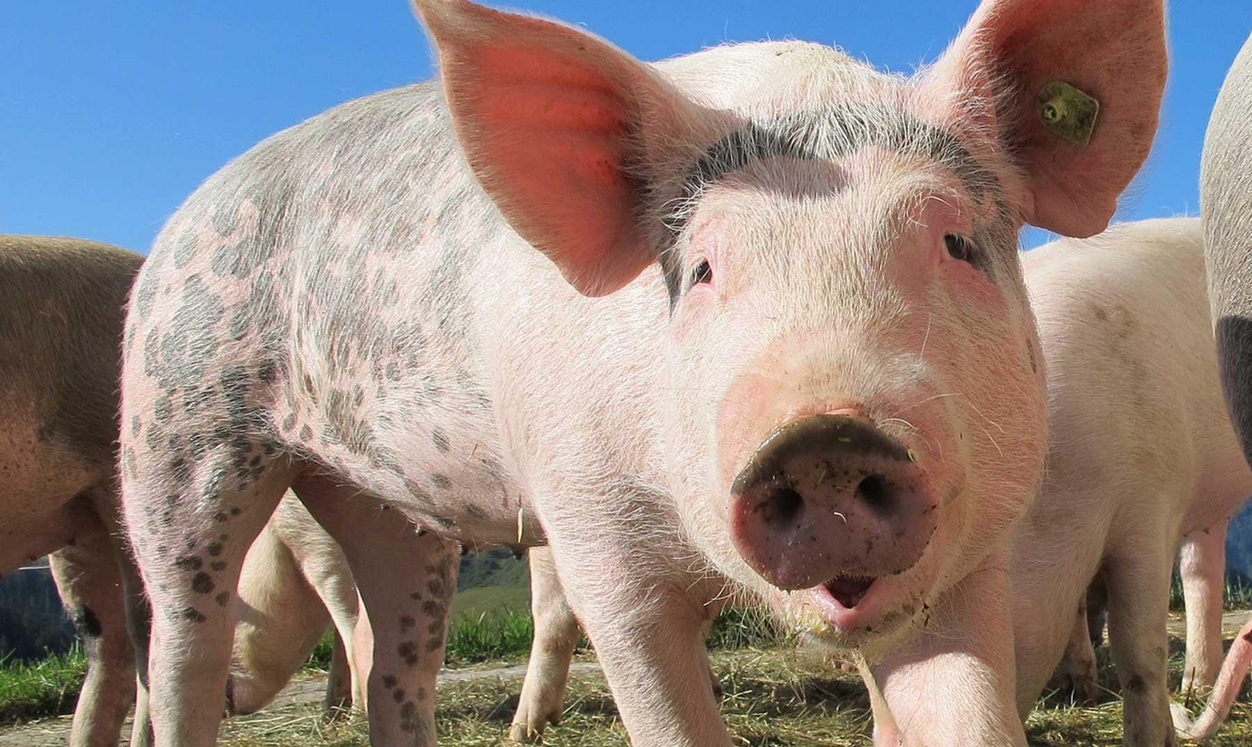 ¿Por qué no comen cerdo los musulmanes?