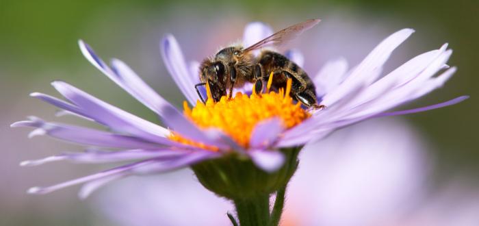 Qué pasaría si desaparecen las abejas. Se acabaría el mundo.