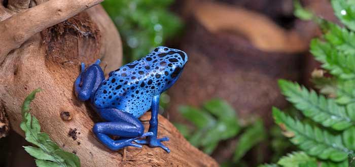 animales mas letales la rana azul