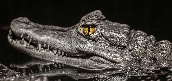 animales mortiferos los cocodrilos