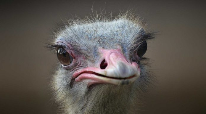 ¿Las avestruces entierran su cabeza ante una situación de peligro?
