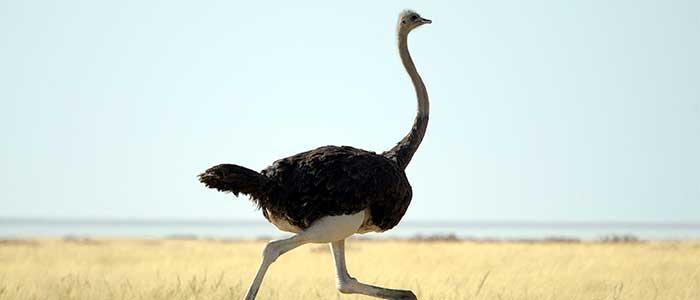 avestruz cabeza bajo la tierra