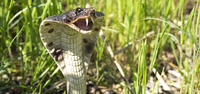 la cobra asiatica