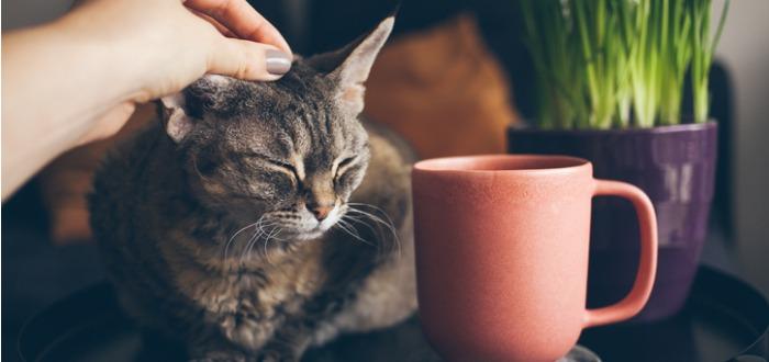 Por qué los gatos no obedecen