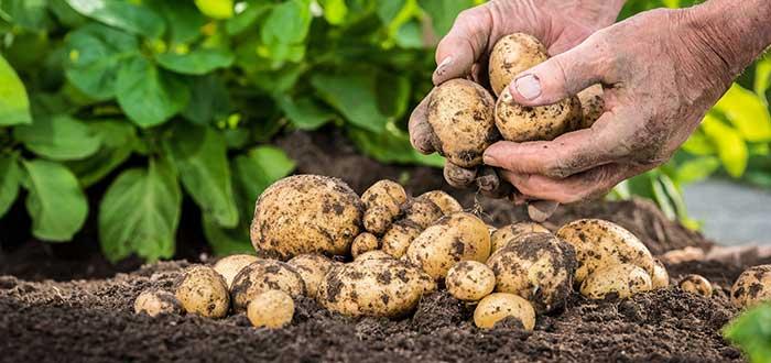 Alimentos venenosos, Patatas