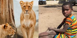 Leones salvan a una niña de sus secuestradores