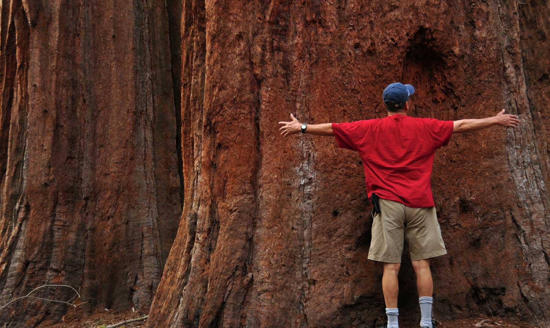 Secuoyas, los árboles más grandes del mundo