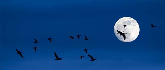como se orientan las aves migratorias