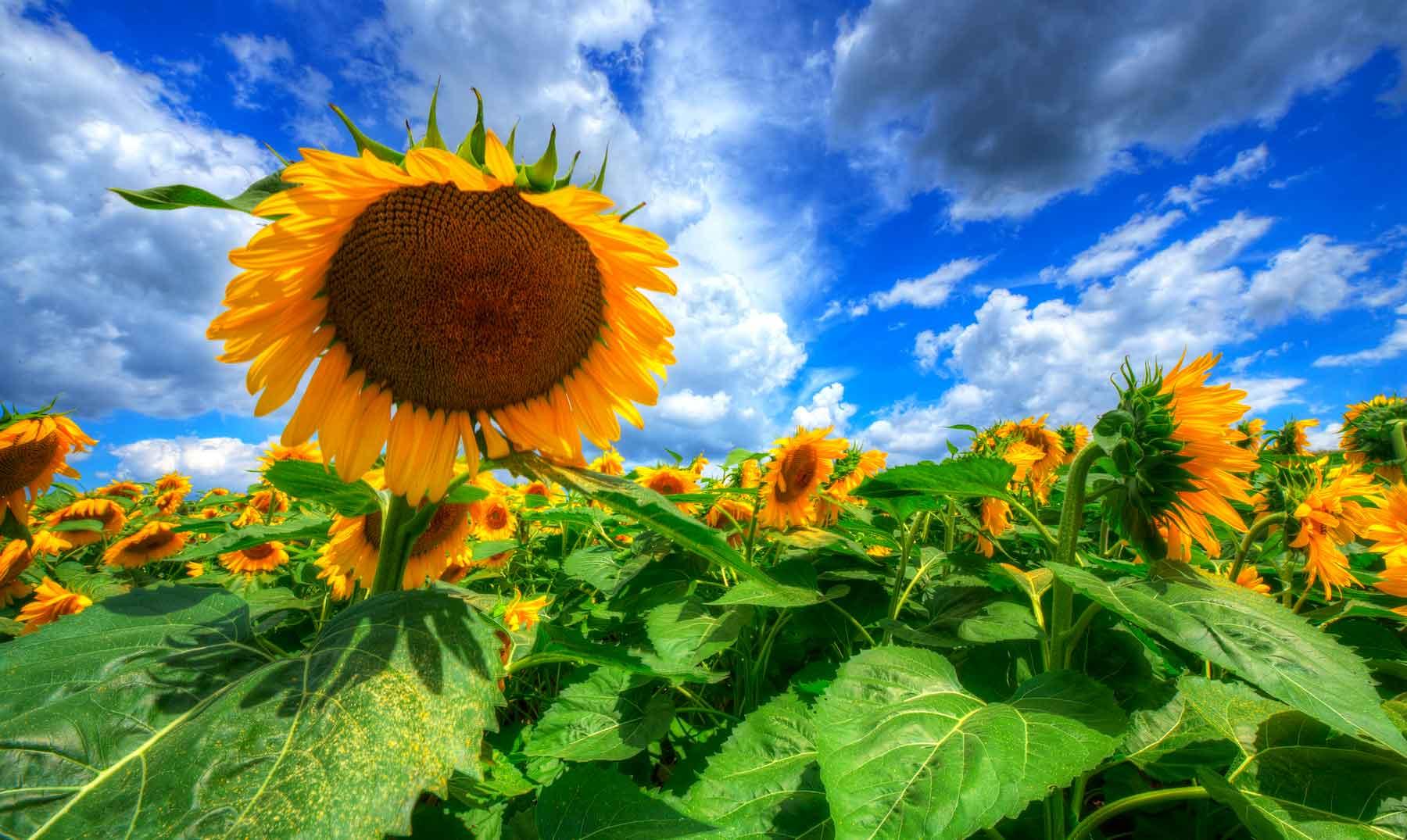 ¿Por qué los girasoles giran mirando al Sol