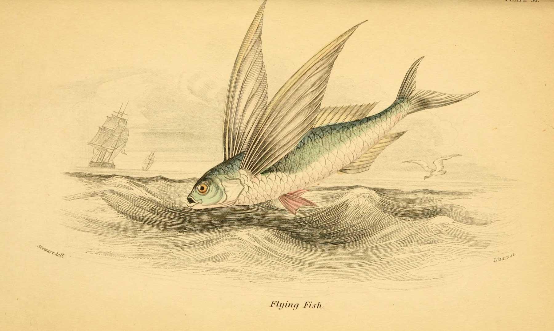 Exocoetidae, el pez volador de cuatro alas