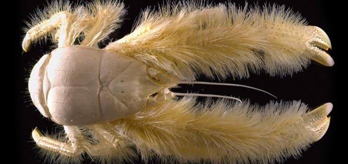 animales curiosos, animales más curiosos, cangrejo yeti