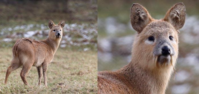 animales curiosos, animales más curiosos, ciervo acuático chino