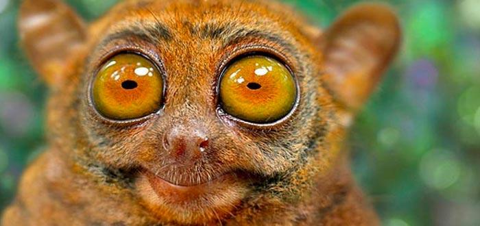 Animales curiosos, animales más curiosos del planeta, tarsero fantasma
