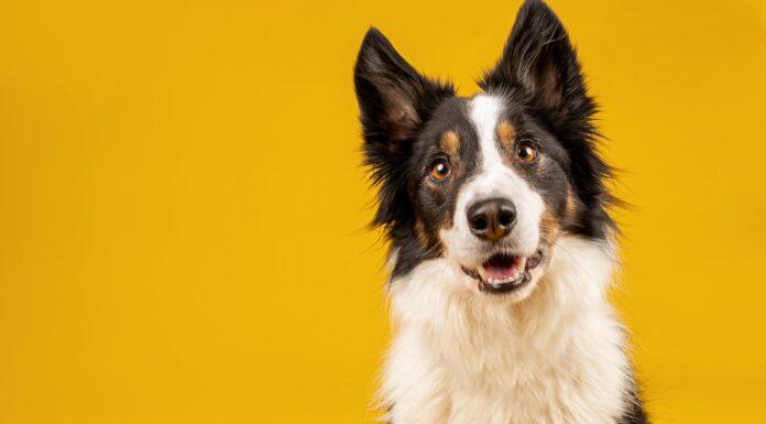 Los perros pueden oler enfermedades