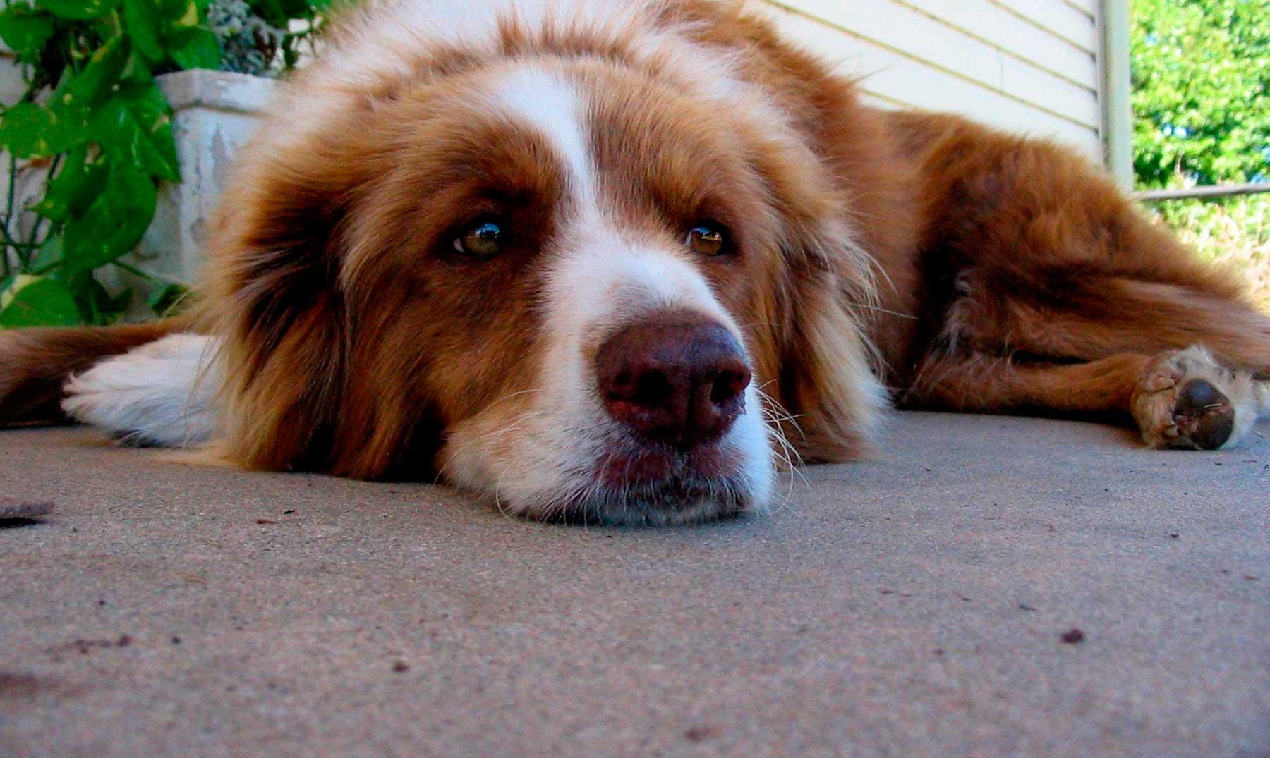 ¿Es verdad que un año humano equivale a siete para un perro?