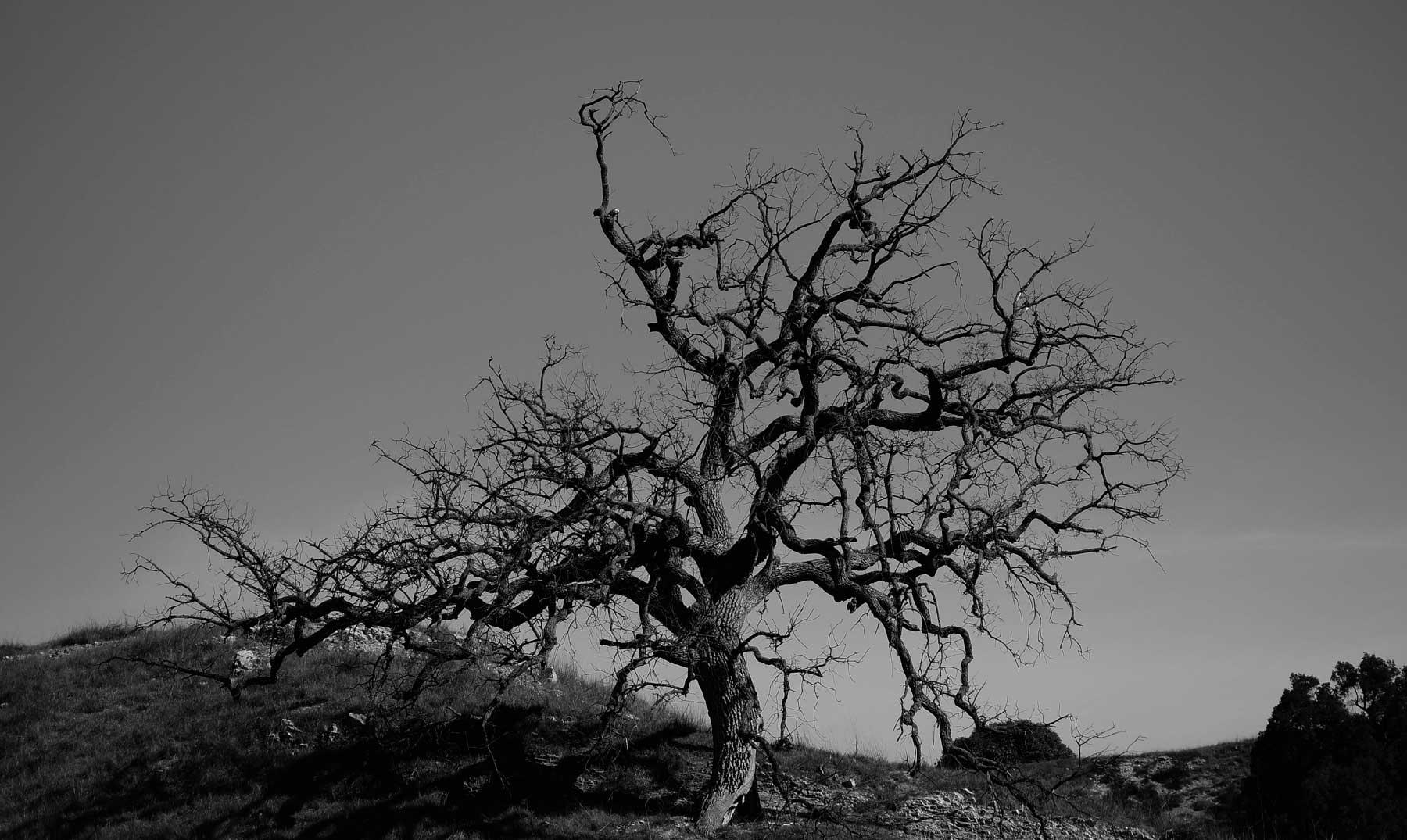 Los singulares árboles albinos  vampiros de la naturaleza