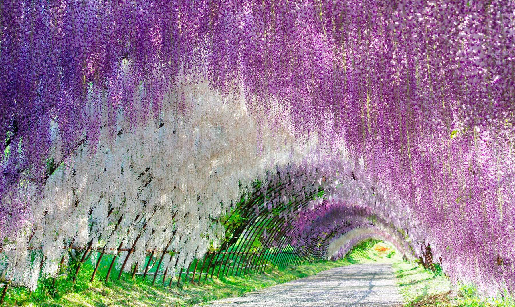 El fascinante túnel de glicinias de Japón