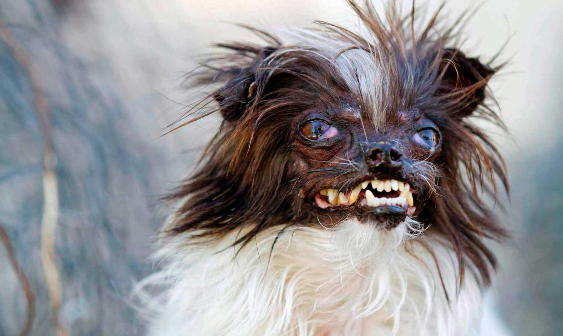 Peanut, el perro más feo del mundo