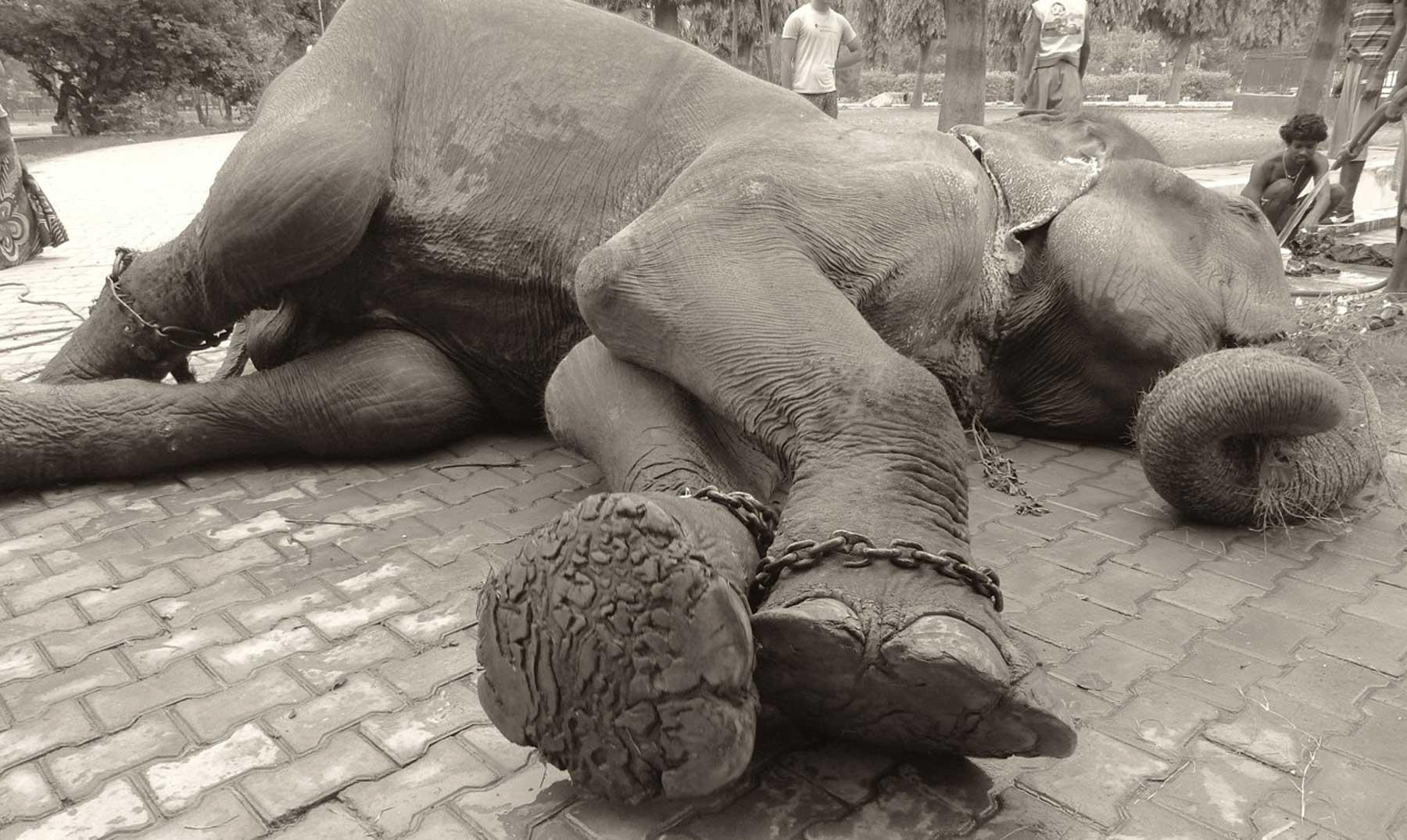 Rajú, el elefante que lloró al ser liberado