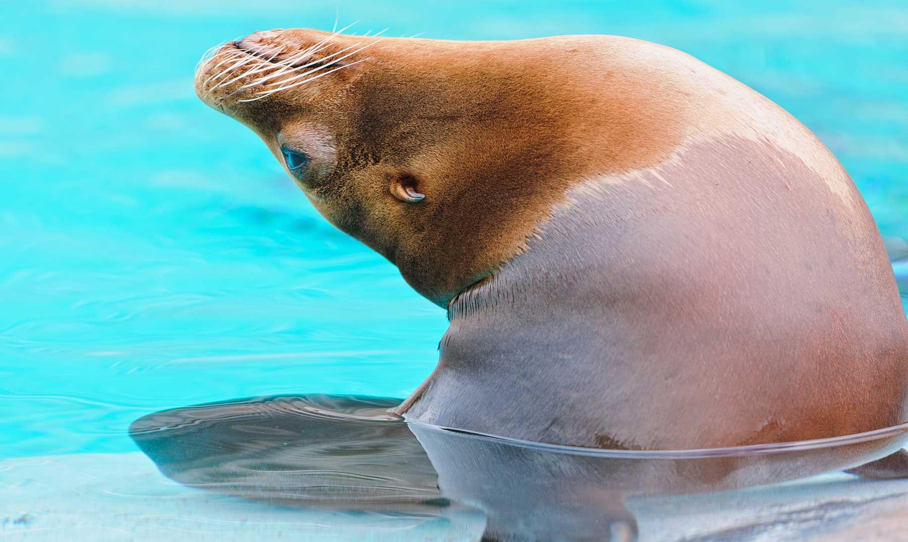 Ronan, la leona marina que adora bailar