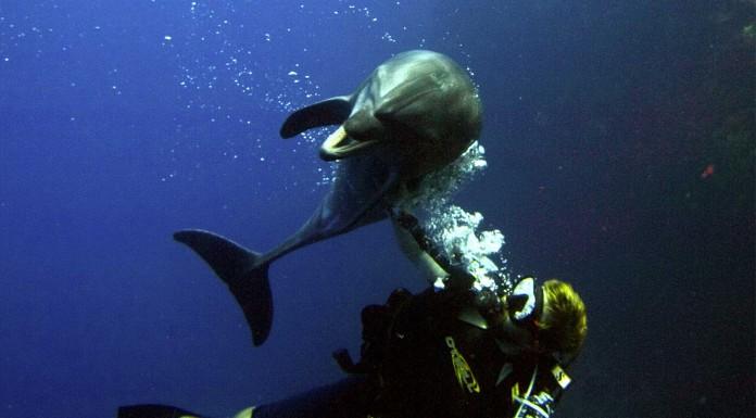 El delfín que pidió ayuda a un buceador