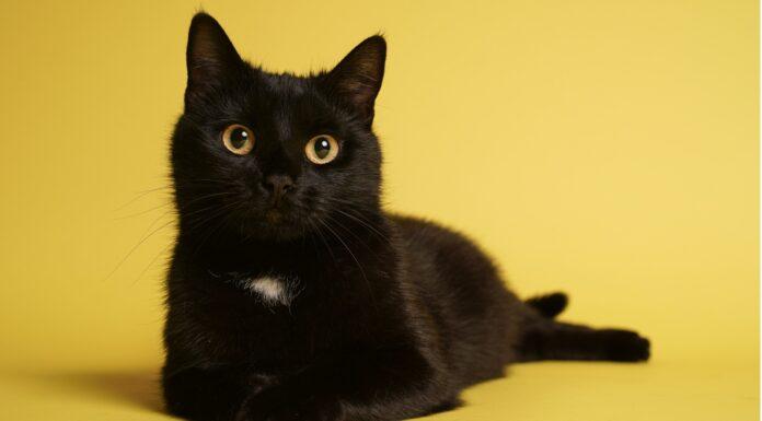 Curiosidades de los gatos negros