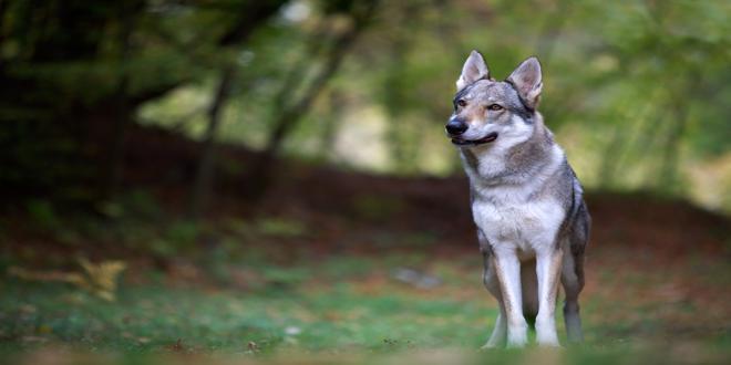 lobo, verdadero historia de la caperucita roja, símbolos